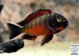Tropheus Sp. Red Chimba photo