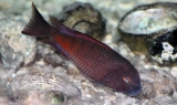 Tropheus sp. Red Firecracker photo