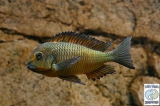 Tropheus Sp. Red Kachese photo
