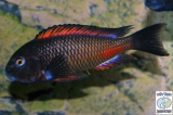 Tropheus Sp. Red Katete photo