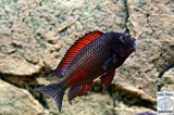 Tropheus Sp. Red Moliro photo