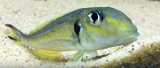 Xenotilapia Ochrogenys Bulu Point photo