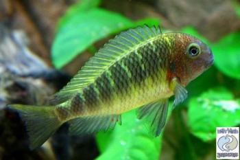 Tropheus moorii kabayeye yellow rainbow for sale for Yellow rainbow fish