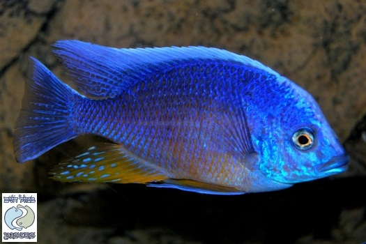 Copadichromis borleyi blue maison reef for sale for Saltwater fish for sale near me