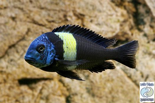 Tropheus Duboisi Halembe for sale